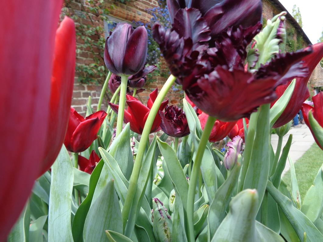 tulips, Sissinghurst